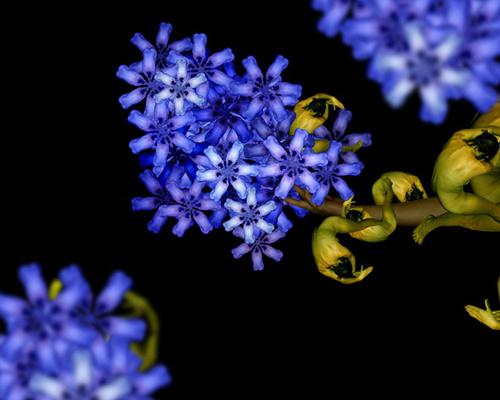 Hình nền các loài hoa mang màu tím xanh tuyệt đẹp