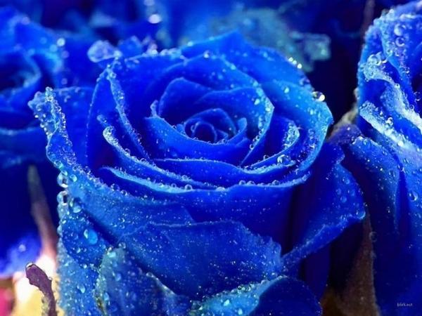 Hình nền đẹp - Hoa hồng xanh