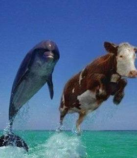 Hình nền hài hước - Cuộc đua khốc liệt của bò và cá