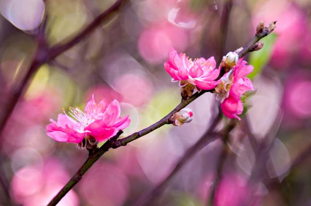 Hình nền hoa đào lung linh trong nắng xuân