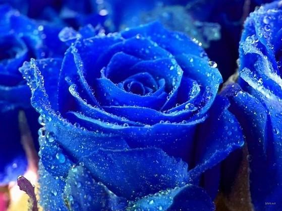 Hình nền hoa hồng xanh đầy ý nghĩa