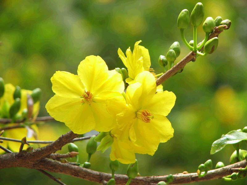 Hình nền hoa mai vàng mang vạn điều may
