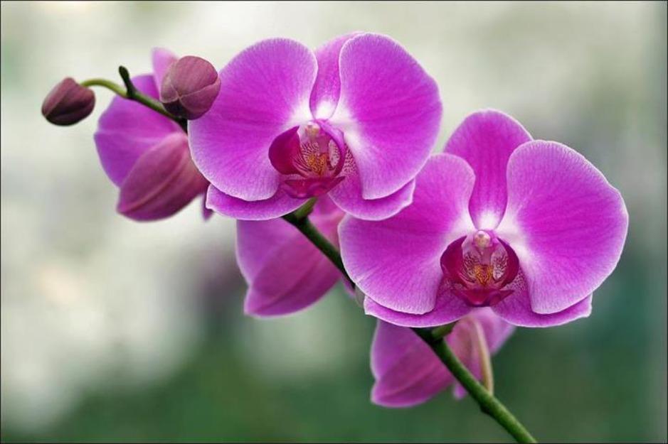 Hình nền hoa phong lan tín mộng mơ