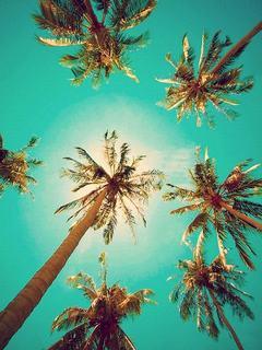 Hình nền mùa hè - Hàng dừa xanh