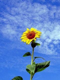 Hình nền mùa hè – Hoa hướng dương