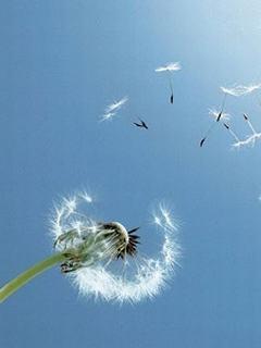 Hình nền mùa hè - Hoa bồ công anh trong gió