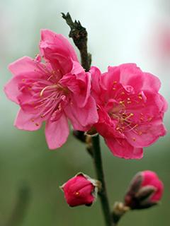 Hình nền hoa đào ngày Tết báo hiệu mùa xuân về