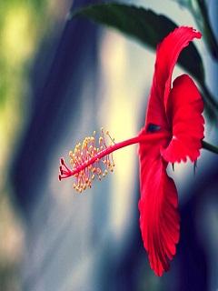 Hình nền HD đẹp - Bông hoa dâm bụt khoe sắc rực rỡ