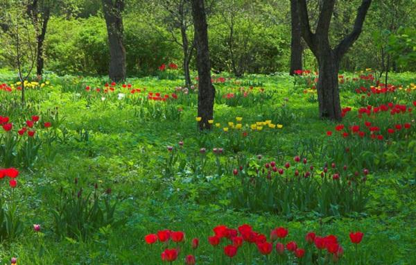 Hình ảnh cảnh đẹp thiên nhiên hd - Cánh đồng hoa tulip