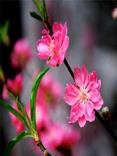 Hình nền Hoa đào ngày Tết đẹp tuyệt vời
