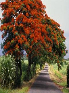 Ngắm hình nền mùa hè hoa phượng nở đỏ một góc trời