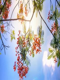 Ngắm hình nền mùa hè mang sắc đỏ của phượng vỹ