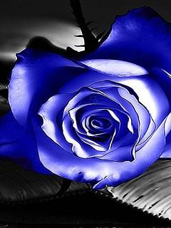 Tải ảnh đẹp 3d cho điện thoại hoa hồng xanh đầy bí ẩn